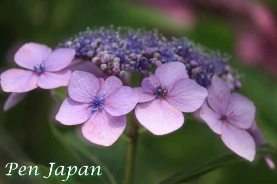 花博記念公園鶴見緑地の紫陽花
