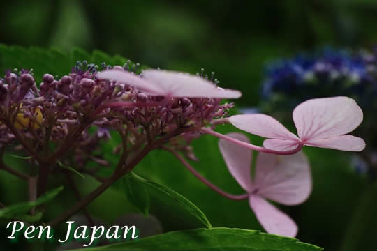 花博記念公園鶴見緑地のアジサイ
