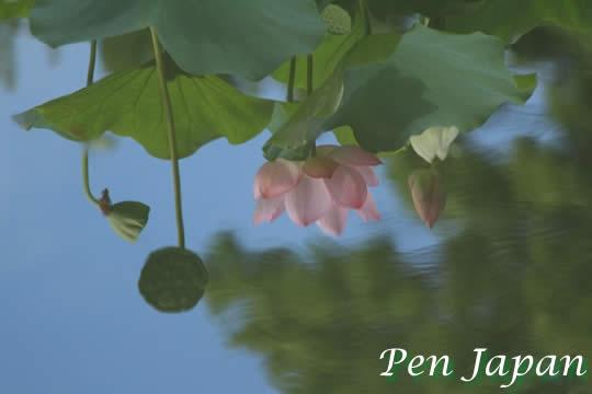 万博記念公園・日本庭園のハスの花