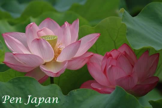 万博記念公園・日本庭園の蓮花