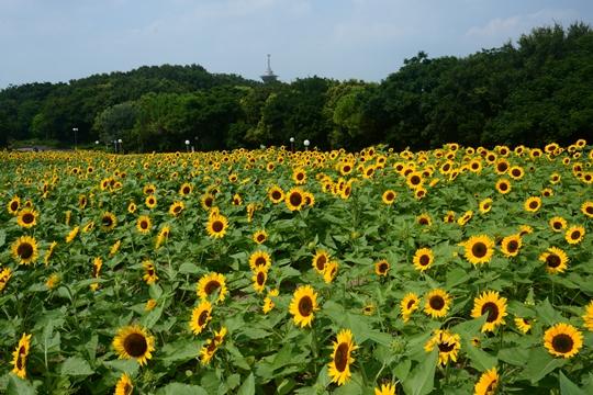 花博記念公園鶴見緑地のひまわり