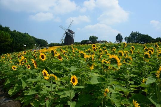 花博記念公園鶴見緑地の向日葵