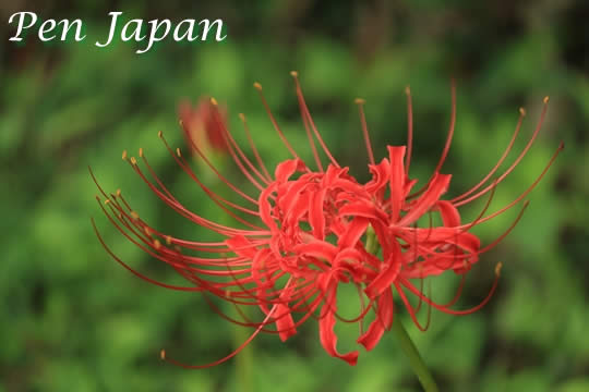 亀岡市の彼岸花
