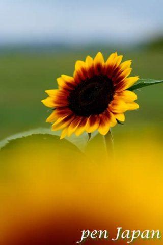 万博記念公園の向日葵