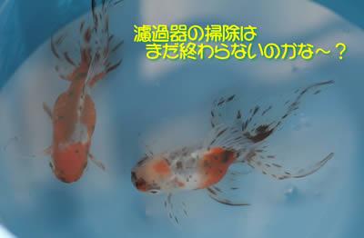 掃除待ちの金魚たち