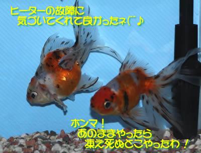 金魚たちの会話