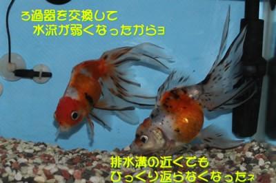金魚0710_1