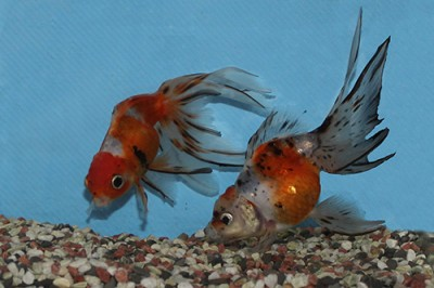 金魚0710_038_3