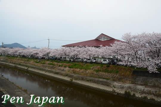 正法寺公園の桜