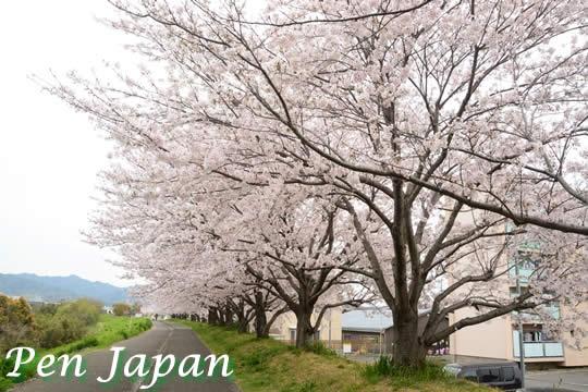 桜づつみ公園の桜