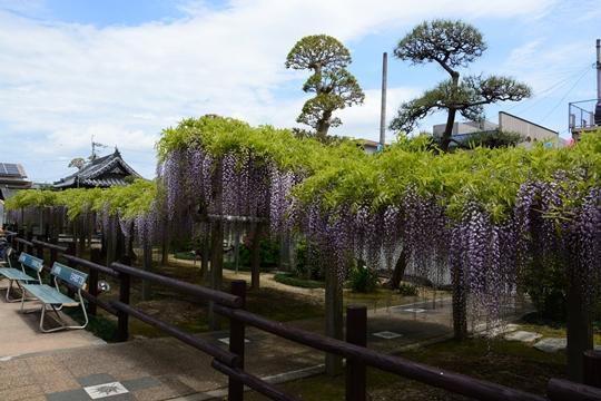 地福寺の藤の花