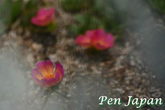 あすたむらんど徳島に咲く初夏の花