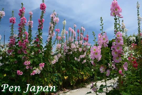 住友菖蒲園の花しょうぶ