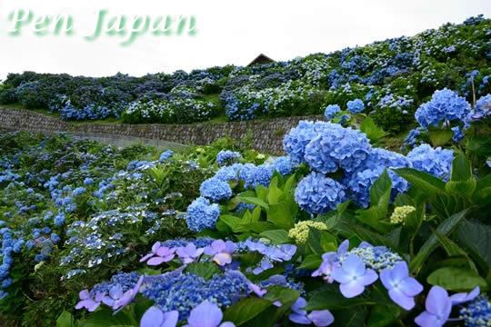 大川原高原の紫陽花