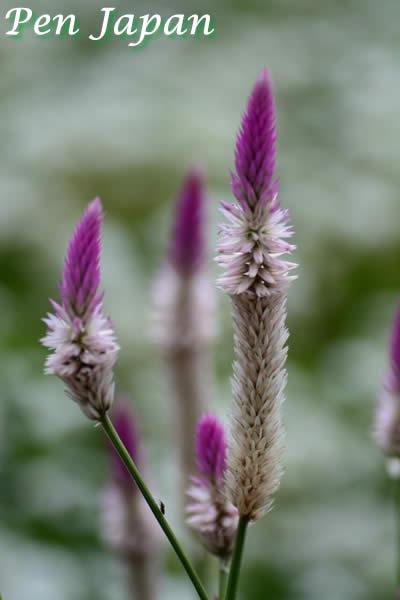 あわじ花さじきの花