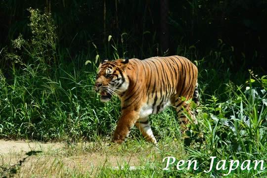とくしま動植物園のアムールトラ