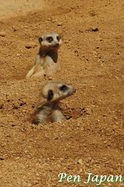 とくしま動植物園のミーアキャット