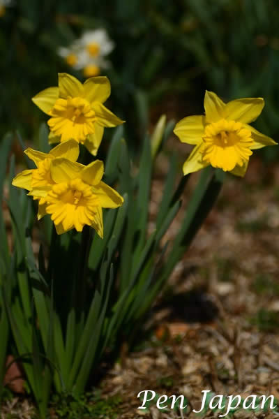 あすたむらんどに咲く水仙