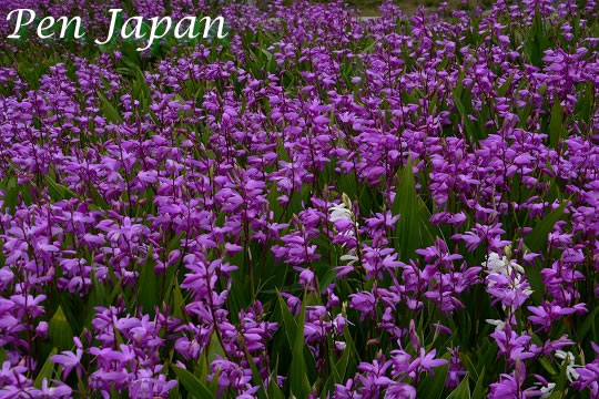 あすたむらんど徳島の紫蘭