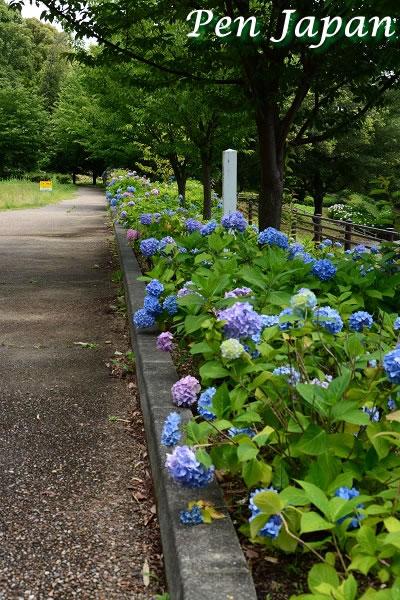 とくしま植物園の紫陽花