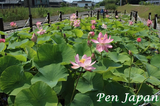 板野・親水公園の古代ハス
