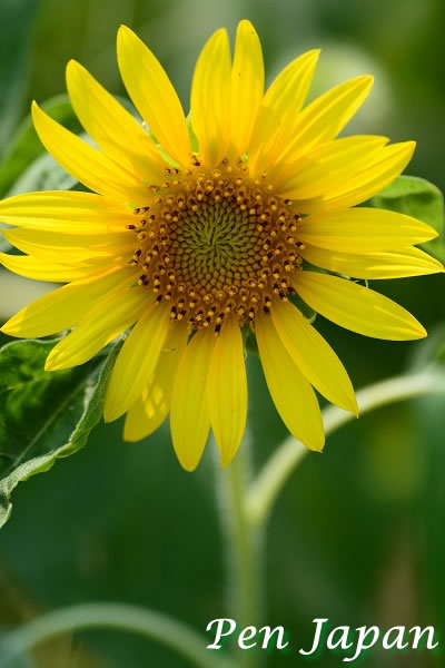 ウチノ海総合公園の向日葵(ひまわり)
