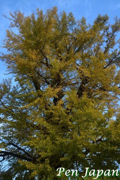 地蔵寺の大銀杏の黄葉