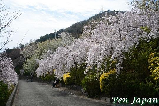 花見山の枝垂れ桜