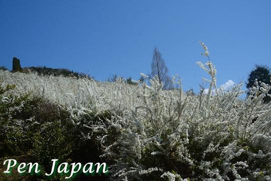 あすたむらんど徳島の雪柳