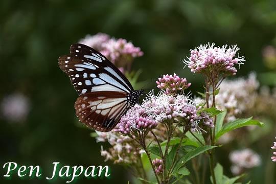 鳴門ウチノ海総合公園の蝶